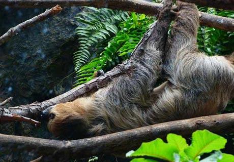 """Auch Faultiere lieben es, in der Höhe zu schlafen, in einer noch """"extremeren"""" Position: an ihren Pfoten am Baumast hängend!"""