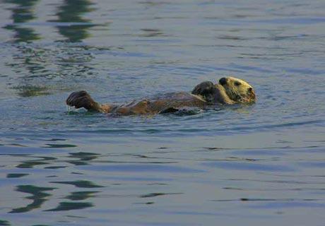 Auf der Wasseroberfläche schwimmend… wie ein Fischotter!