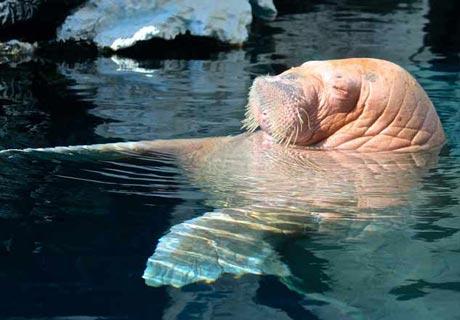 Auch Walrosse schlafen im Wasser, bevorzugen es allerdings, in vertikaler Position geschaukelt zu werden.