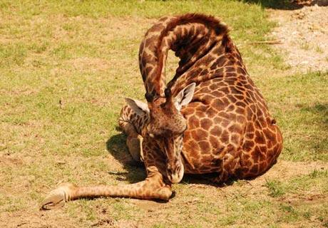 Verknotet… wie eine Giraffe!