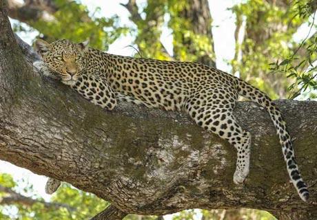 Im Gleichgewicht… wie ein Leopard!