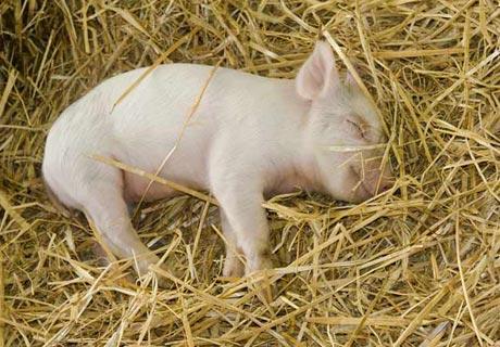 Das Tier, welches dem Menschen beim Schlafen am meisten ähnelt ist… ...das Schwein!